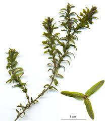 Elodea canadensis - Wikipedia