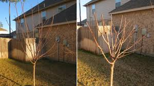 How And When To Prune Fruit Trees  The Tree Center™Cherry Fruit Tree Care