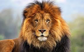 face eyes lion fur mane hd wallpaper 1920x1200 wallpaper