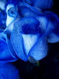 http://tbn0.google.com/images?q=tbn:SnkUGKwqKFrbEM:http://www.dailygalaxy.com/photos/uncategorized/2008/02/04/blue_roseartificially_coloured_2.jpg