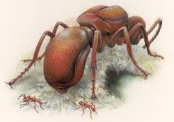 ملكة النمل