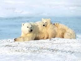 http://www.futura-sciences.com/news-ours-polaires-auront-ils-disparu-canada-25-ans_8759.php