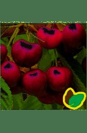 Kirsebærtræ Skeena