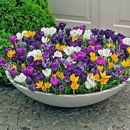 Crocus à grandes fleurs Paquet XL XL paq. de 250 Bulbes à fleurs Mélange de couleurs grandiflorus